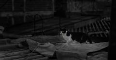 IMG_6037-3 (Deivid R. Purificação) Tags: cat catlovers catmouthmycat cats kitty gatos gato gatinha felinos lingua instacat gata femea female cateye pb telhados roofs blackandwhite bw highcontrast artefelina olhosdegato yelloweye yelloweyes streetcat