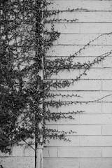 One hour with a macro (Helen C Photography) Tags: macro nikon 105mm adelaide southaustralia sa nature plants ivy creeper house wall wood old monochrome
