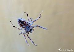 Épeire diadème 11 (Jean-Daniel David) Tags: arachnide araignée épeire nature macro grosplan closeup toile bokeh yverdonlesbains suisse suisseromande vaud