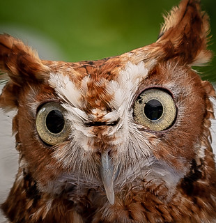 The Owl (Redux)