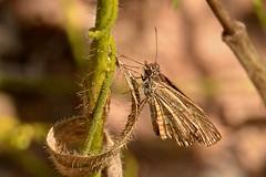 Hesperiidae ID help (robertoguerra10) Tags: hesperiidae