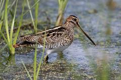 Snipe (Simon Stobart - Back But Way Behind) Tags: snipe gallinago water reeds wading northeast england uk naturethroughthelens