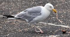 DSC_0893 (RachidH) Tags: birds oiseaux gulls herringgull larusargentus goélandargenté goéland shell seashell gastropod atlanticocean ocean amagansett li longisland ny newyork rachidh nature