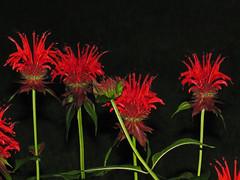 Bee-balm at Night (Jan Nagalski) Tags: night dark flashlighting flash red carmine green black darkbackground beebalm wildflower gardenflower garden hummingbirds michigan jannagalski jannagal