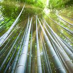 Arashiyama Bamboo Grove thumbnail