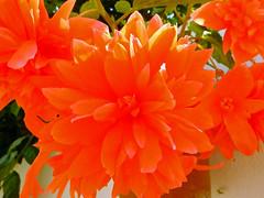 Begonia (Cornishcarolin. Stupid busy!! xx) Tags: cornwall httpswwwedenprojectcom nature flowers plants begonias