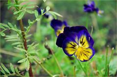 DSC_4511 (FMAG) Tags: 201809 dzialka kwiatki macro