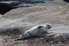 2018-08-01-RoadTrip-Flickr-60 (dylantdowling) Tags: seal cute