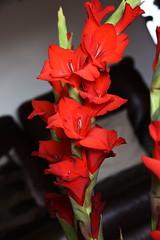 DSC_1572 Gladioli (PeaTJay) Tags: nikond750 sigma reading lowerearley berkshire macro micro closeups gardens indoors nature flora fauna plants flowers bouquet gladioli
