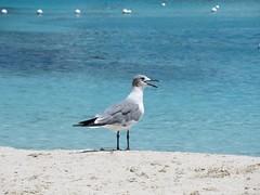 Let Go.... (Little Hand Images) Tags: seagull quote whitesand bluewaters bird avian buoys bluelagoonisland nearnassau bahamas
