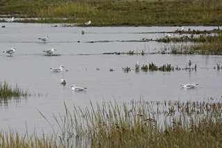 Black-headed gulls on the foreland near Neuharlingersiel (East Friesland/Frisia, Germany)