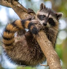 Just Hangin Around (~ Bob ~) Tags: hang wildlife cute nature d500 adorable raccoon kit mammal washingtonstate nikon