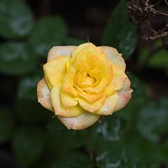 IMG_0021 Tomorrow a Hurricane but Today a Rose (oldimageshoppe) Tags: flower rose rain morninglight latesummer