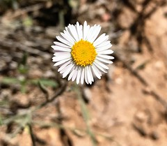 """""""The Tiniest Perfection"""" (bradhodges09) Tags: newmexicophotography newmexico flowers yellowflowers nature fragility detail closeup perfect perfection wildflowers wildflower spreadingfleabane"""