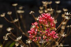 Bouquet sauvage (patoche21) Tags: bourgogne bourgognefranchecomte cotedor chevignystsauveur europe fleur flore france nature plante bois lumière proxy texture voieferrée patrickbouchenard burgundy flower flora