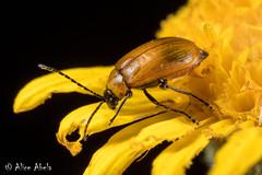 Metrioidea atriceps (aliceinwl1) Tags: az arizona arizona2018 arthropod arthropoda chrysomelidae chrysomeloidea cochisecounty coleoptera galerucinae insect insecta leafbeetles luperinasubtribe luperini metrioidea metrioideaatriceps polyphaga sectionmonoleptites seriescucujiformia atriceps beetle locpublic viseveryone