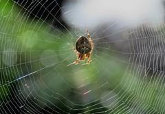 European garden spider / Cross orbweaver (marksargeant57) Tags: gardenorb insect canonpowershotsx60hs spidersweb spider gardenspider macro araneae arthropod arachnid arthropoda arachnids crossorbweaver