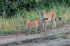 Leopards - Panthera pardus (rosebudl1959) Tags: 2018 kenya masaimara zebraplains kabosoandfemalecub leopards