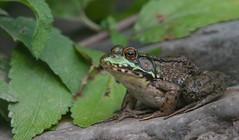 Le Prince (Keztik) Tags: lithobates clamitans frog grenouille verte nikon d7500