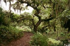 Jungle Land (IggyRox) Tags: peru andes mountains southamerica choquequiraomachupicchutrek abancayprovince apurimacregion film 35mm hike trek nature beauty vilcabamba santateresadistrict laconvencionprovince cuscoregion rioblanco jungle tree green mossy trail down vegetation huanipacadistrict