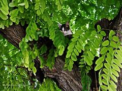 A la sombra de la Acacia (adioslunitaadios) Tags: gato acacia árbol airelibre campo fujifilm mamífero