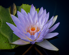 Water Beauty (tresed47) Tags: 2018 201808aug 20180809longwoodflowers august canon7dmkii chestercounty content flowers folder lily longwoodgardens macro pennsylvania peterscamera petersphotos places season summer takenby technical us waterlily
