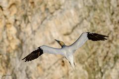 Gannet, Bempton Cliff (J Harwood Images) Tags: 200500 2018 bird d500 england ganet nikon goldfinch yorkshire
