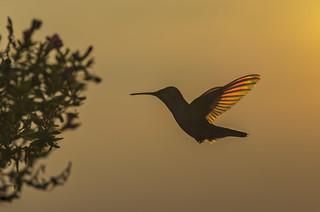 Hummingbird in Sunset