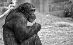 Anticipating the Rebellious one. (alundisleyimages@gmail.com) Tags: monkey ape primate chimpanze zoo captive animal wildanimal beast nature blackandwhitephotography mono conservation chester england stare bokeh