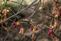 On the fence (Peideluo) Tags: valla naturaleza minimalist colors summer red