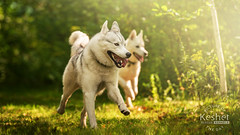 Picture of the Day (Keshet Kennels & Rescue) Tags: rescue kennel kennels adoption dog ottawa ontario canada keshet large breed dogs animal animals pet pets field tree forest nature photography husky huskies siberian woods sunlight run play together pair friends best
