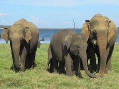 Kaudulla National Park (D-Stanley) Tags: kaudullanationalpark kaudulla srilanka minneriya wasgamuwa elephant