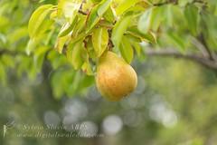 Pear Bokeh (Sylvia Slavin ARPS (woodelf)) Tags: vintagelenses bokeh helios442 helioslens helios peartree orchard fall autumn harvest fruit pear
