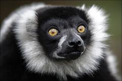 B&W Ruffed Lemur 3 (Darwinsgift) Tags: black white ruffed lemur woburn safari park bedfordshire nikkor 200500mm af s f56 nikon d850