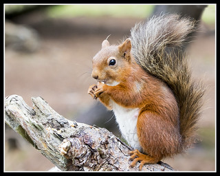 IMG_0129 Red Squirrel