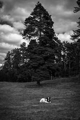 Little calf (Maria Zaharieva) Tags: black white blackandwhite bw monochrome animal calf little tree clouds cloudscape landscape bulgaria contrast shadows forest trees nature travel traveling