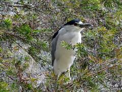 Black-crowned night heron (Nemoleon) Tags: sanmateo curiodyssey august 2018 dsc01546nycticorax nycticoraxblackcrowned night heron