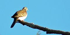 pigeons doves-14 (Captain Hadoc) Tags: bird birds australia wild wildlife farm pigeonsdoves pigeons