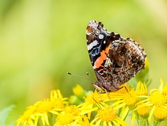 Red Admiral (Karen_Chappell) Tags: redadmiral butterfly yellow green bokeh macro nature insect stjohns summer closeup orange canonef100mmf28usmmacro goulds bidgoodpark canada atlanticcanada avalonpeninsula eastcoast newfoundland nfld brown