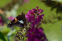 Silver-spotted Skipper (JDA-Wildlife) Tags: butterfliesetc nikon nikond7100 tamronsp150600mmf563divc jdawildlife johnny closeup butterfly skipper skippersilverspotted silverspottedskipper