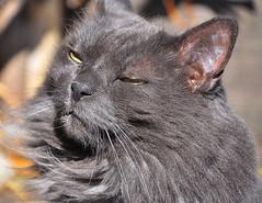 Smokey 2 (Narodnie Mstiteli) Tags: reno nevada moana nursery don bachman 89523 marshal arts chilcoot narodnie mstiteli grey cat fat pussy meow pet animal