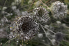 time is ripe (elkema) Tags: flower seeds plants nature