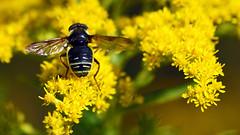 PollinatorHartleyNatureCenter0829180002.jpg (TonyM1956) Tags: elements macrounlimited sonyalphadslr sonyphotographing tonymitchell