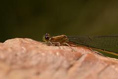 DSC_3997 (Hachimaki123) Tags: animal insect insecto odonato odonata damselfly caballitodeldiablo fardelgarxal deltadelebre