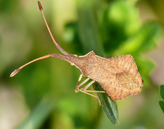 p1380011 (claudiopoli) Tags: animali animalia arthropoda insecta hemiptera coreidae syromastes rhombeus autouploadfilenamep1380011jpg
