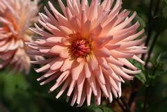 Dahlie / dahlia (HEN-Magonza) Tags: botanischergartenmainz mainzbotanicalgardens rheinlandpfalz rhinelandpalatinate deutschland germany flora dahlia