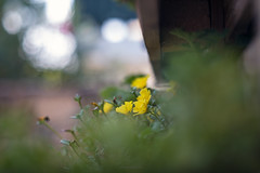 flori (paconline) Tags: pacogsuarez paconline canoneos5dmarkiv helios40285mmf15 bokeh dof colors flower russianlens manuallens manualfocus