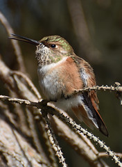 Look at my tongue!! (Snixy_85) Tags: hummingbird selasphorusrufus rufoushummingbird