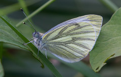 Grove Ferry Green- veined White