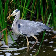 Heron fishing (Dave Bickley) Tags: heron attenborough nottinghamshire attenboroughnaturereserve lakes birds september 2018 nottinghamshirewildlifetrust
